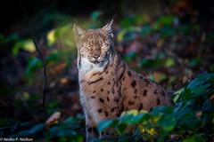 Don't see you (Nedko Nedkov) Tags: autumn bavaria fall cub kid kitten lynx mum wildlife