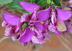 Feathery Flowers! ('cosmicgirl1960' NEW CANON CAMERA) Tags: gava barcelona spain espana holiday travels yabbadabbadoo