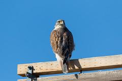 Handsome Ferruginous Hawk