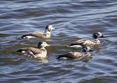 Long-tailed Ducks (Gordilly) Tags: 7d1022647 carterlake douglascounty omaha nebraska nature wildlife bird waterfowl anatidae clangulahyemalis longtailedduck