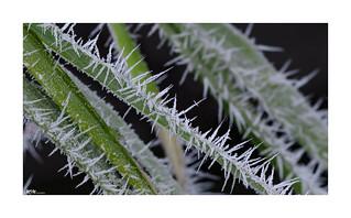 frozen bamboo