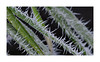 frozen bamboo (mmsig) Tags: 2017 frost cold white snow crystals tree winter garden macro closeup lowersaxony brunswick maple spell niedersachsen braunschweig januar january makro bambus bamboo grün green
