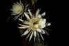 Queen of the Night Returns (armct) Tags: epiphyllumoxypetalum queenofthenight cactus tropical rainforest nightblooming gypsymoth reproduction pollination stamens pistil stigma large cactusflower sundaylights