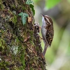 Treecreeper  Leighton Moss RSPB F00004 D210bob DSC_7573 (D210bob) Tags: treecreeper rspb d210bob dsc7573 f00004 nikond7200 wildlifephotography birdphotography nikon nikon200500f56 naturephotography lancashire leightonmoss