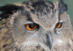 You got the Look (Kevin Pendragon) Tags: owl europeaneagleowl cornwall beak black brown orange grey hunter silent nature