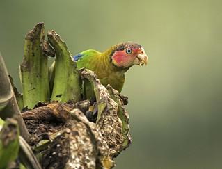 Rose-faced Parrot / Pyrilia pulchra / Cotorra Rubicunda
