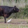 Western Cattle Egret (ibis) (Bubulcus ibis ibis)-2779 (Stein Arne Jensen) Tags: ardeidae balearene balearicislands balearischeinseln bird bubulcusibisibis canonef100400f4556lisusm canoneos70d ciconiiformes espagne espanya españa esplugabous europa europe fugl garcillabueyera gardeboeufdafriquenominal hegrefamilien herons islasbaleares koereiger kuhegre kuhreiher lehmähaikara mallorca muro pajaro reiher salbufera schreitvögel spain spania spanien steinarnejensen storkefugler tsn174804 vogel westerncattleegretibis ardeidas ciconiformes garçavaqueira lintu oiseau европа египетскаяцапля птица أوروبا यूरोप ニシアマサギ ヨーロッパ 歐洲 牛背鹭 鳥 鸟 유럽 황로