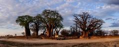 Baines' Baobabs (c-u-b) Tags: botswana africa afrika reisefotografie travelphotography nationalpark baobab bäume baum trees tree panorama landschaft landscape nature naturephotography natur abend abendhimmel evening sky clouds wolken