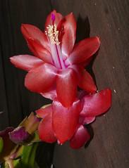 Schlumbergera Unknown [Max] (nolehace) Tags: schlumbergera unknown max 1117 succulent flower bloom plant fall nolehace sanfrancisco fz1000