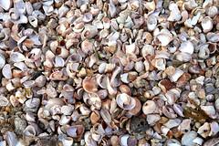 Surf Drive Beach (Jeff Mitton) Tags: surfdrivebeach falmouth capecod shore sand ocean slipperlimpet crepidulafornicata shell marine wondersofnature earthnaturelife