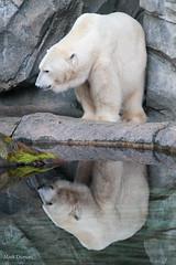 IMG_6657.jpg (Mark Dumont) Tags: polar cincinnati zoo mark dumont