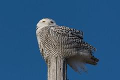 Snowy Owl - Bubo scandiacus (Bill VanderMolen) Tags: snowyowl owl fishpointswa michigan