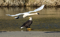 Low Flyers (nickinthegarden) Tags: americanbaldeagle trumpeterswans nicomenslough fraservalley bc canada eagle swan baldeagle