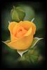 Yellow Rose (LotusMoon Photography) Tags: rose yellow flower nature blossom bloom friendship annasheradon lotusmoonphotography
