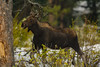 A babe near the woods (ChicagoBob46) Tags: cowmoose moose yellowstone yellowstonenationalpark nature wildlife ngc coth5 sunrays5