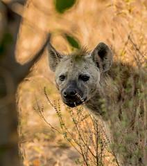 Curious Hyena, Chobe, Botswana (donnatopham) Tags: botswana chobe hyena