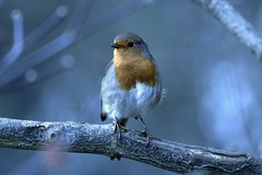 Robin framed by nature..... (markwilkins64) Tags: bokeh robin nature tree canon christmas