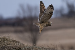 Day of the Short-eared Owl (Rick 2025) Tags: birds raptors owls shortearedowls wolfeisland inflight