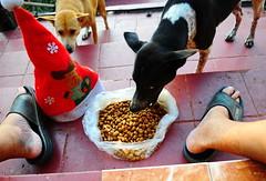 ,, Christmas Breakfast ,, (Jon in Thailand) Tags: legs mama legsthezoomer mamaqueenofthejungle thespirithouse themonkeytemple jungle deepjungle dog dogs k9 k9s christmasdinner red burgundy green steps christmashat christmasconeheadhat kibble dogkibble dogears dogeyes dognose merryxmass merrychristmas dogfood sandals feet suspiciousdogs dogexpression floortile 2dogs nikon d300 nikkor 175528 mischiefmakers partyhat littledoglaughedstories