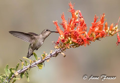 Hummingbird (Anne Marie Fraser) Tags: bird hummingbird tree flower nature arizona wildlife