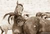 Wild Horses (Jami Bollschweiler Photography) Tags: sunset wild horses wildlife utah great basin desert west walking white stallions fighting tree water reflection pulling hair
