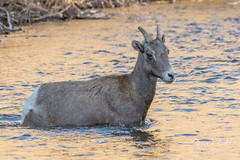 Bighorn Sheep ewe wades into the water