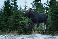 Julien de profil (www.sophiethibault.ca) Tags: orignal safari novembre nature forêtmontmorency canada québec animaux 2017 moose animalplanet
