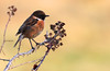 Male Stonechat on thorns, Crisp golden autumn afternoon at Oare KWT nature reserve (Jim_Higham) Tags: oare kwt nature reserve kentwildlifetrust wild wildlife natural kent england english british britain uk eu europe