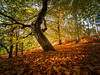 Autumn Colour (Andy & Helen :-) :)) Tags: autumn colour woodland beech trees cannockchase staffordshire explored andyholt olympus landscape uk
