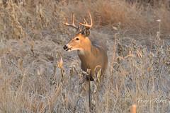 Mule Deer buck in the morning sun