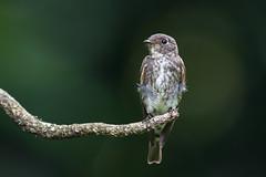 Dark-sided Flycatcher (BP Chua) Tags: bird nature wild wildlife animal flycatcher darksided bidadari singapore park perch smallbird nikon d750 600mm birdphotography