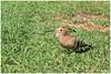 Hop - Hoopoe (Upupa epops) ... (Martha de Jong-Lantink) Tags: hop hoopoe upupaepops grancanaria maspalomas spanje