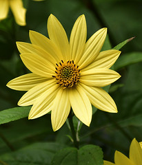The measure... (Steven H Scott) Tags: flower plant outdoor yellow petals organic pattern nature