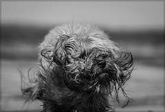 At the beach I (elpedro1960) Tags: dog wet bedraggled caboodle hairy monochrome black white beach walk