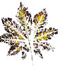 Leaf Impressions (Bill Gracey 17 Million Views) Tags: leafimpressions leaf maria offcameraflash yongnuo yongnuorf603n homestudio whitebackground crafts macrolens color colorful colors softbox
