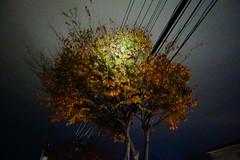 unnatural tree (憂-ICHIRO) Tags: street snap sony rx100