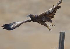 Liftoff (Omnitrigger) Tags: eagle golden goldeneagle raptor birdofprey jumpshot nature wildlife california grasslands isolation