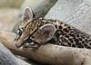 Looking Cute [In Explore 11/15/17] (greekgal.esm) Tags: brazilianocelot ocelot kitten babyanimal cat feline animal mammal carnivore santaanazoo santaana california sony rx10m3 rx10iii