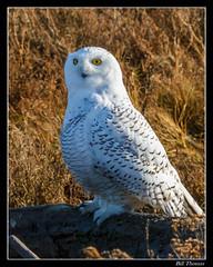 Snowy Owl-1 (billthomas_steel) Tags: snowyowl owl britishcolumbia bird wildlife canon canada winter owlsofthepacificnorthwest buboscandiacus