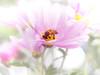 busy days (Tomo M) Tags: chrysanthemum soft dream dreaming pastel bokeh autum light outdoor garden