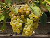 Winogrona Weintrauben (arjuna_zbycho) Tags: winogrona weintrauben owoce naszeogrody herbst