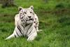 WHF: Narnia (White Tiger) (Jasmine'sCamera) Tags: whf wildlifeheritagefoundation bigcat bigcats bigcatsanctuary cat feline wild animals animal kent eyes mouth ears whiskers upclose amazing narnia whitetiger white tiger