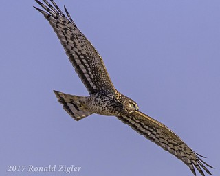 Northern Harrier IMG_6108