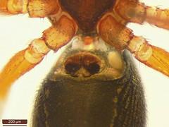 Gnathonarium dentatum (dhobern) Tags: 2017 araneae essex linyphiidae naze november gnathonariumdentatum uk waltononthenaze