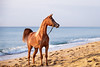 B90I4854 (www.ziggywellens.com) Tags: arabian horse equine filly mare beach sea sand animal vibrant canon