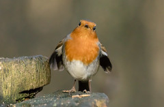 Here's looking at you (johnhitchen1) Tags: robin bird garden feeder