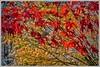 Autumn Colours. (ro-co) Tags: fz200 panasonic gardens borders acers autumn