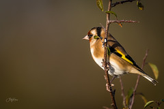 Goldfinch (andy_harris62) Tags: goldfinch bird goldie autumngold autumn