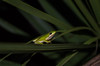 Green Tree Frog (Hyla cinerea) (ronkernan1) Tags: field herping florida nature habitat wildlife animal amphibian tree frog nikon d5100 green