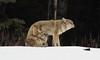 Coyotes  4406 (robenglish64) Tags: coyotes